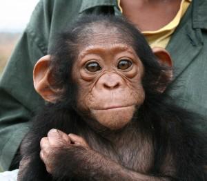 Schimpanse in Auffangstation