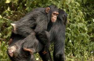 Schimpansenkinder bleiben bis zum 7.Lebensjahr bei ihrer Mutter