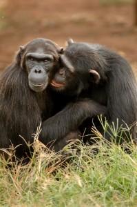 Das Verhalten von Schimpansen ähnelt dem des Menschen