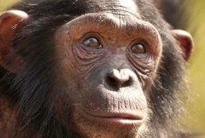 Ungewisse Zukunft für Schimpansen