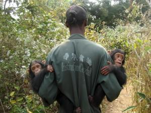 Schimpansen mit Betreuer in Tchimpounga