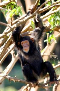 Spielender Schimpanse