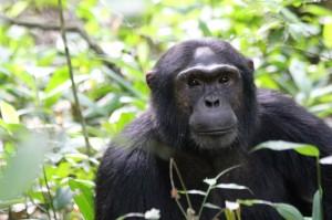 Erwachsener Schimpanse