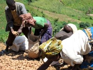Kartoffelernte bei den Batwas