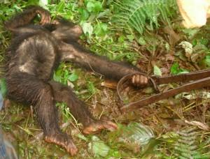 Schimpansen als Bushmeat