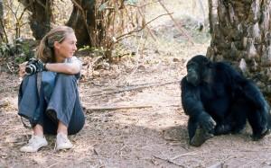 Janes erste Annäherung mit den Schimpansen