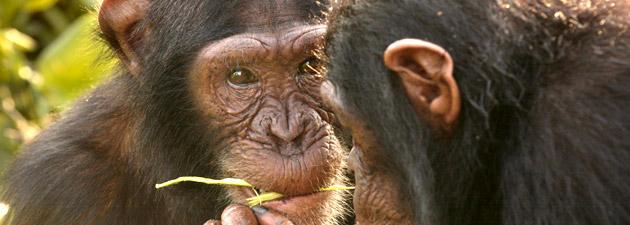 Über Schimpansen