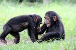 Spielende Schimpansen