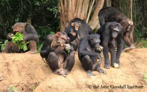 Die Schimpansen freuen sich über ihr neues Zuhause