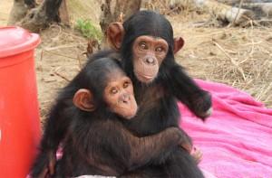 Kleiner Schimpanse mit verstümmeltem Arm