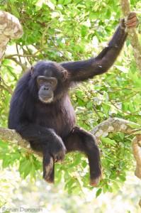 "Schimpanse ""Max"" | Copyright R. Donovan"