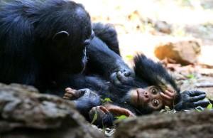 Schimpansen | Copyright David O'Bryan - National Geographic