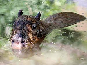 Capybara im Wasser