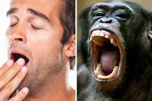 Mensch und Affe gähnen
