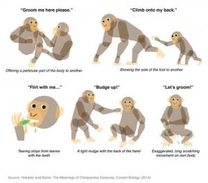Schimpansen-Sprache entschlüsselt