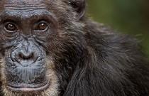 Schimpanse in Gombe