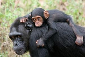 Neue Studie schlägt Alarm: Großteil der Primaten vom Aussterben bedroht!