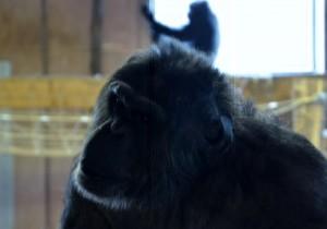 Schimpanse Gänserndorf