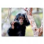 Schimpansenkind in Tchimpounga