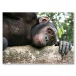 Schimpanse in Tchimpounga (Kongo)