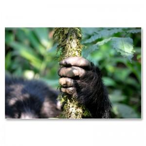Hand eines Schimpansen im Kibale Forest